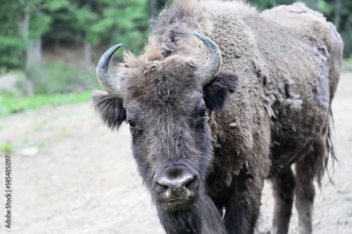 Vászonkép  Close up of European Bison (Bison bonasus) in Bieszczady National Park, Poland
