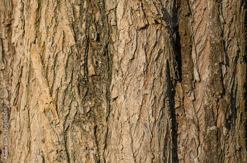 Valokuva Olmo ciliato - ulmus laevis - ulmaceae.