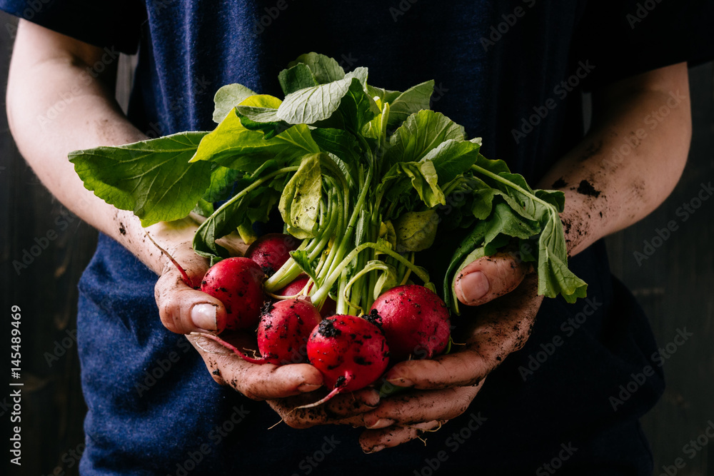 Fototapety, obrazy: Organic fresh harvested vegetables. Farmer's hands holding fresh radish, closeup