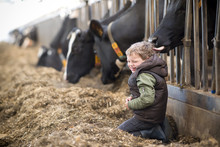 Child Is Caught By A Cow