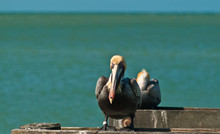 Two Brown Pelicans Resting On Wood Piling In The Tropical Shoreline Of The Gulf Of Mexico At High Noon