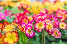 Colorful Pink And Orange Primrose Primula Flower Macro Closeup