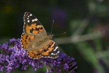 A Painted Lady Butterfly Feeding On The Flowers Of The Butterfly Bush (Buddleia).