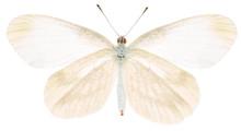 The Green-veined White Pieris ...