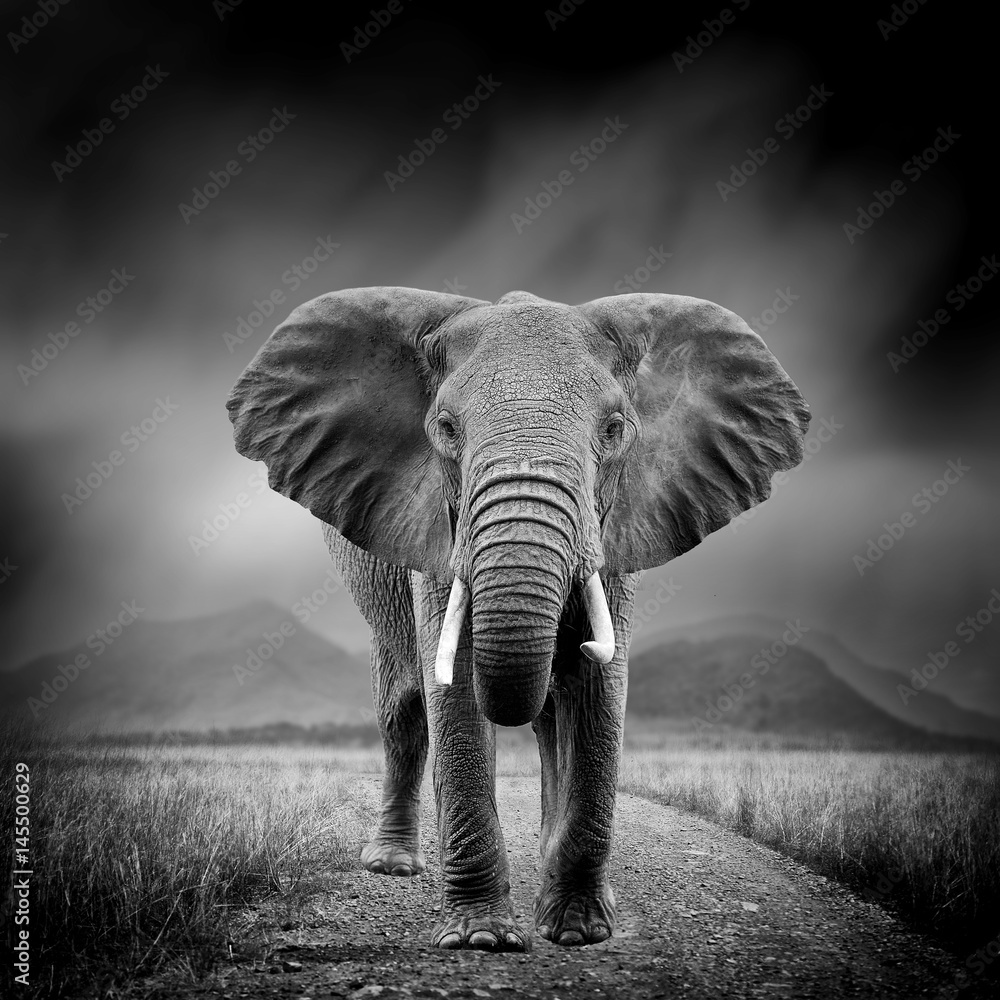 Fototapety, obrazy: Black and white image of a elephant