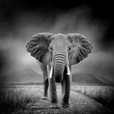 Czarno-biały obraz słonia