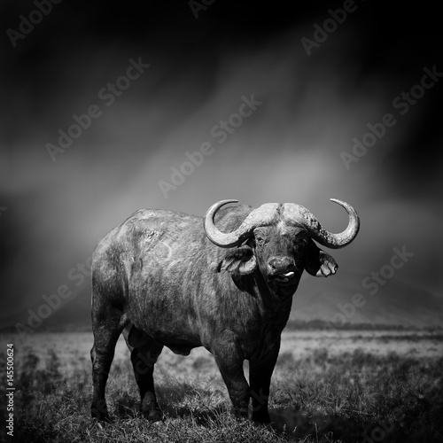 Black and white image of a buffalo