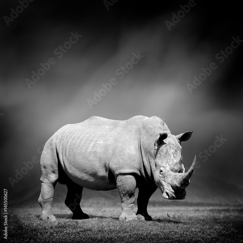 Fotografija  Black and white image of a rhino
