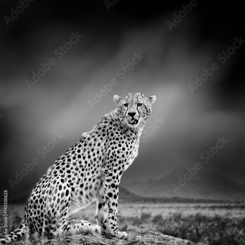 Black and white image of a cheetah