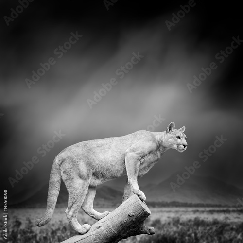 Black and white image of a puma