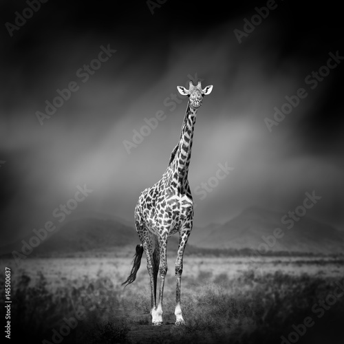 Black and white image of a giraffe Canvas-taulu