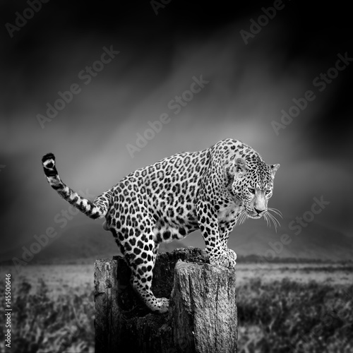 Poster Leopard Black and white image of a leopard