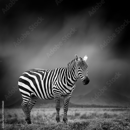 Black and white image of a zebra