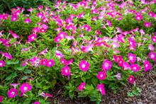 Bright Pink Petunias