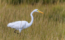 Great Egret (ardea Alba) Wading Through Marsh Grasses Looking For Food.