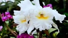 White Big Orchids Close-up. Th...