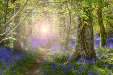 Sunshine Through The Leaves In Bluebell Woods