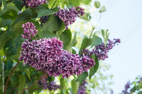 Detail Fleur Mauve De Lilas Dans Un Jardin Buy This Stock Photo