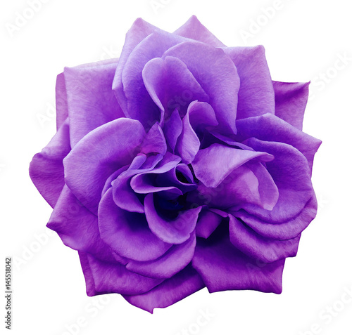 Poster Violet violet rose flower, white isolated background with clipping path. Closeup. no shadows. Nature..