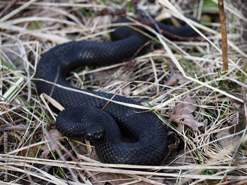 Photo Black snake hiding at the grass at sun creeps with the  dark eyes