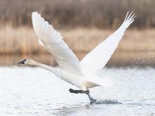 Flying Trumpter Swans