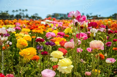 Photo Ranunculus field