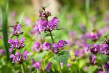 Flowering Lamium Maculatum Also Known As Purple Dragon