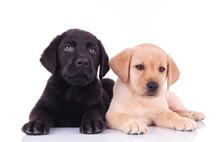 Black And Yellow Labrador Retriever Puppies Lying Down