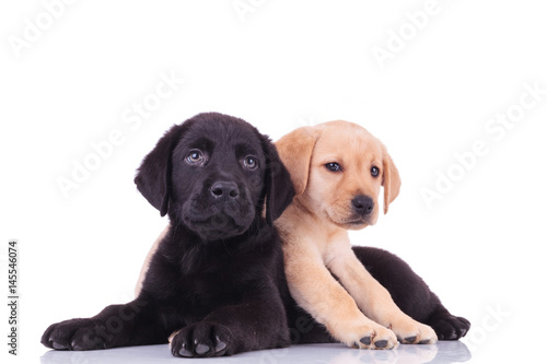 Fotografie, Obraz  yellow little labrador retriever lying on top of black puppy