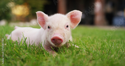 Fotografía  pig cute newborn standing on a grass lawn