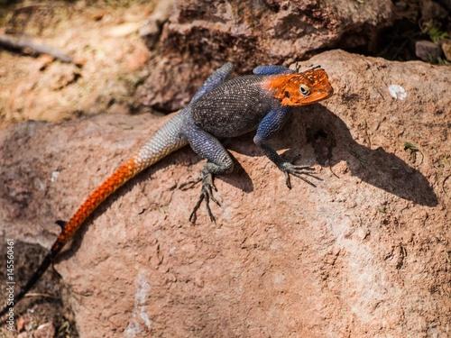 Photo Agama, Epupa Falls, Namibia
