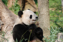 Amazing Wild Giant Panda Bear With A Bamboo Shoot