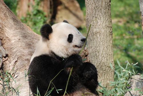 Stickers pour portes Panda Amazing Wild Giant Panda Bear with a Bamboo Shoot