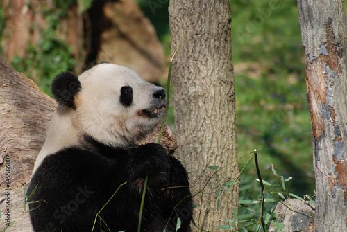 Plakat Duży Głodny Czarno-biały Miś Panda