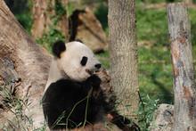 Wild Giant Panda Bear Eating Bamboo Shoots