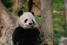 Adorable Giant Panda Eating A Shoot Of Bamboo