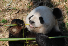 Lovable Giant Panda Bear With ...