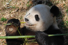 Panda Bear Clutching Bamboo In His Paw