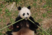 Giant Panda Bear Eating Bamboo In The Center