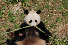Beautiful Panda Bear Eating Bamboo From The Center