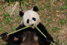 Beautiful Giant Panda Eating Bamboo From The Center