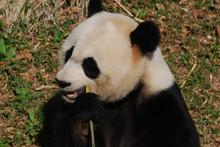 Hungry Chinese Giant Panda Bear Eating Bamboo