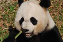 Giant Panda Bear Munching On Green Bamboo Shoots