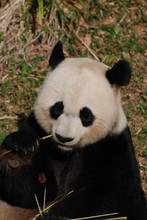 Panda Bear Holding Bamboo While Eating It