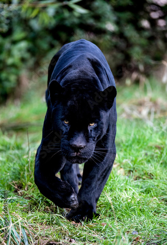 In de dag Panter Black Panther