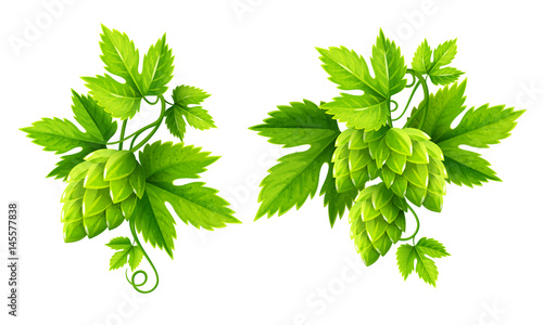 Fresh hop plants with cones and green leaves, isolated on white