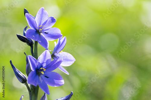 Fototapeta  青紫の花(ミズアオイ)