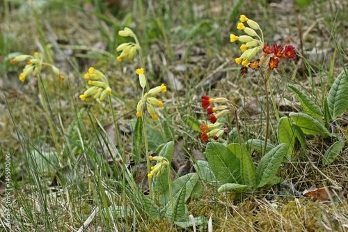 Foto  Primula veris x vulgaris (P