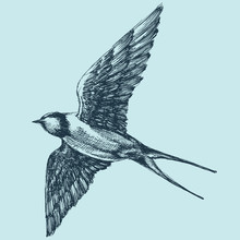 Swallow In Flight, Detailed Hand Drawing