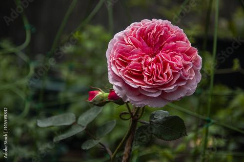 Garden Poster Pink Blossoming Chinese rose flower closeup